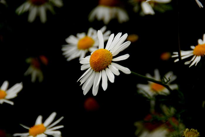 Daisys Small