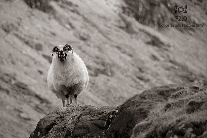 Mount Brandon Sheep_small