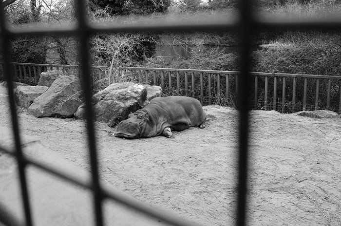 dublin-zoo-hippo-bw_small