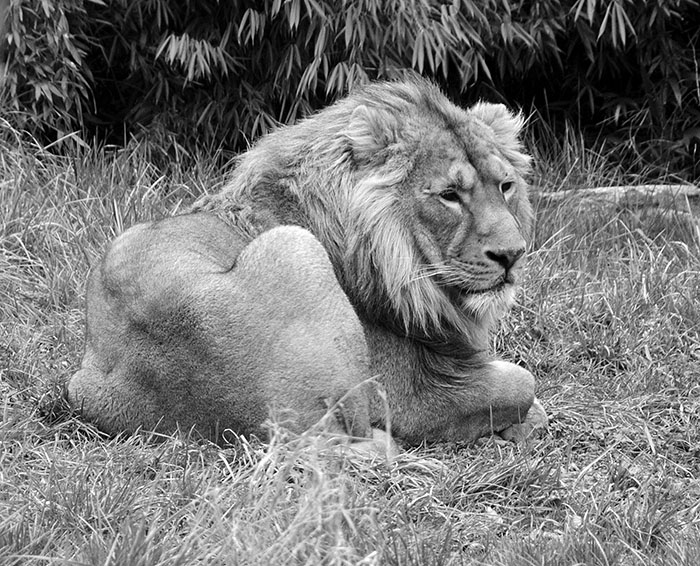 dublin-zoo-lion-bw_small