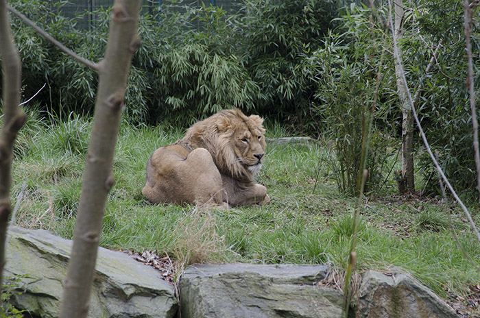 dublin-zoo-lion-original