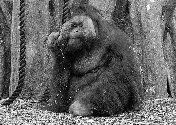 dublin-zoo-orangutan-bw_2_small