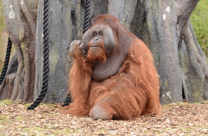 dublin-zoo-orangutan-original